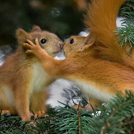 Love Is... by Sergey Bezberdy - Animals Other Mammals ( kitten, kissing, fur tree, sciurus, loving, cub, love, kiss, red squirrel, christmas tree, baby, sciurus vulgaris, squirrel,  )