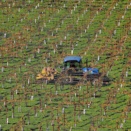 Harvest in the vineyards by Robin Rawlings Wechsler - Landscapes Prairies, Meadows & Fields ( vineyard, vines, grapes, landscape, tractor, sonoma, fields )