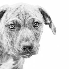 Pitty Pup by Sharon Snider - Animals - Dogs Portraits ( high key, pitbull, pup, dog portrait, puppy, dog )