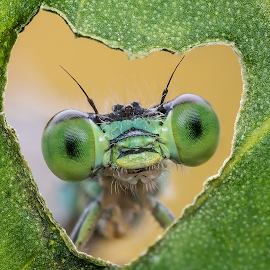 Damselfly by Voicu Iulian - Animals Insects & Spiders