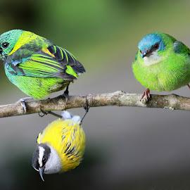 Acrobat bird! by Itamar Campos - Animals Birds ( tanager, saí azul, morretes, cambacica, saía sete cores )