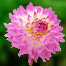 Lavender & yellow Dahlia #6 by Jim Downey - Flowers Single Flower ( red, green, dahlia, yellow, purple, petals )