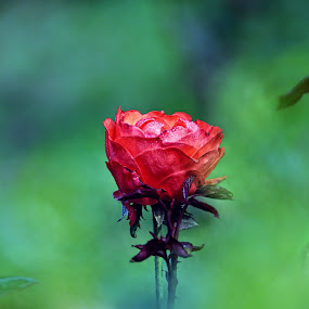 For u Only... by Fotosutra - a PRASANTA SINGHA photography - Nature Up Close Flowers - 2011-2013
