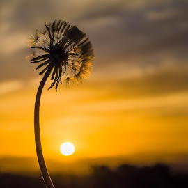 Dandelion at sunset by Cindy Bester - Nature Up Close Other plants ( clouds, mountains, sky, nature, dandelion, sunset, sun )