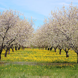 The Cherry Orchard by Tina Stevens - Landscapes Prairies, Meadows & Fields ( flora, grass, orchard, dandelions, landscape, spring, blossom, blossoms, michigan, cherry, sky, old mission, nature, tree, trees, cherries, peninsula )
