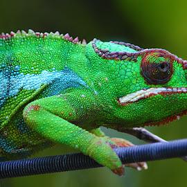 Caméléon vert by Gérard CHATENET - Animals Reptiles
