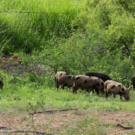 Wild Pigs by Sarah Harding - Novices Only Wildlife ( nature, pigs, outdoors, novices only, wildlife )
