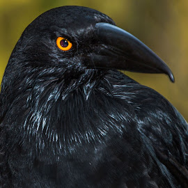 by Leoni Williams - Uncategorized All Uncategorized ( bird, currawong, eyes )