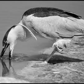 Black-capped Night Heron by Dave Lipchen - Black & White Animals ( black-capped night heron )