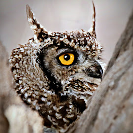 Spotted Eagle Owl by Pieter J de Villiers - Animals Birds