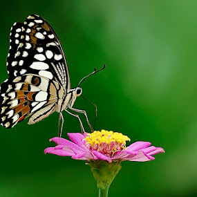 My Butterfly by Fery Wahyudi - Animals Insects & Spiders