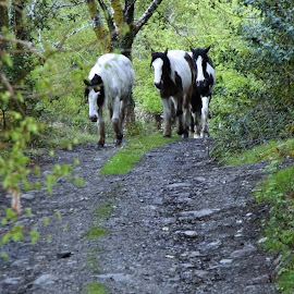Coming down the track. by Tracey Yappa - Animals Horses ( walking, horses, green, country lane, lane )