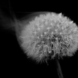 SMOKIN' DANDY by Karen Tucker - Black & White Flowers & Plants ( plant, wild flower, macro, dandelion, black and white, art, weed, dandelion clock, smoke )