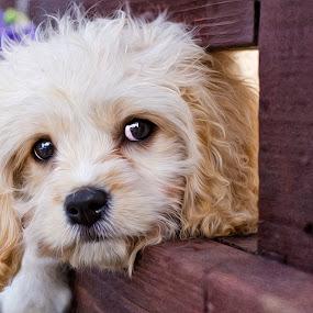 Little Sasha by Gerardo Robledo - Animals - Dogs Puppies (  )