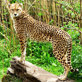 Leader by Heather Clark - Animals Lions, Tigers & Big Cats ( big cat, cheetah, spotty )