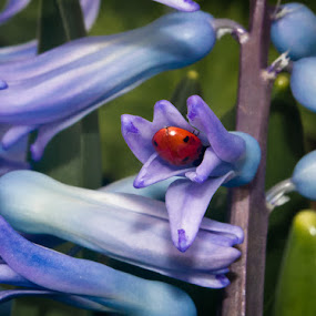 by Melissa S. Hunt - Abstract Macro ( macro, nature, ladybug, flowers, hyacinth, insect,  )