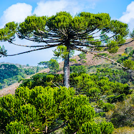 Araucaria tree, Campos do Jordão, SP, Brazil by Rogerio Ribas - Landscapes Forests