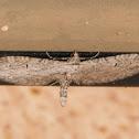 Pug moth
