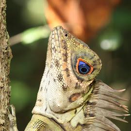 Blue Eyed Lizard by Ellmok Mokh - Animals Reptiles ( reptiles, blue eyed lizards )