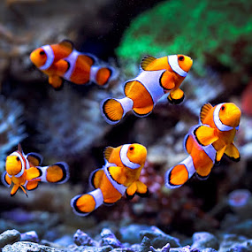 Clown fish by Toni Panjaitan - Animals Fish ( icon, fish, clown fish, animal )