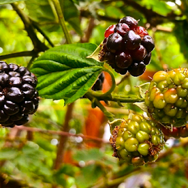 { Dew Berry's on the vine ~ 24 July }  by Jeffrey Lee - Nature Up Close Gardens & Produce ( { dew berry's on the vine ~ 24 july } )