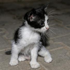 by Veli Toluay - Animals - Cats Kittens