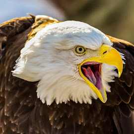 by John Sinclair - Animals Birds ( eagle, nature, wildlife )