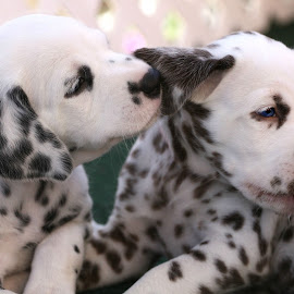 Puppy Love by Suzi Wahl - Animals - Dogs Puppies ( #dalmatian )