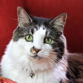 Scruffy by Skip Spurgeon - Animals - Cats Portraits ( cat, female, tabby )
