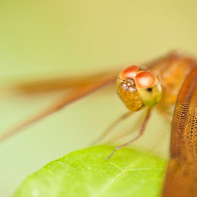 Look into my eyes by Md Mukibul Islam - Animals Insects & Spiders ( macro, dragon fly, dragon eyes, close up, eyes )