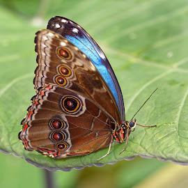 Resting on leave by Michaela Firešová - Animals Insects & Spiders ( butterfly, detail, blue, brown )