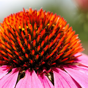 by Dragos Tranca - Flowers Single Flower