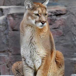Cougar Sits6 Vib.JPG