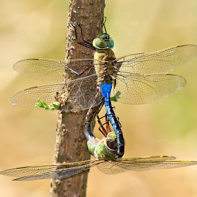 by Herb Houghton - Animals Insects & Spiders ( refuge, herbhoughton.com, green darners, odes, dragonflies )