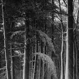 by Reda Veitas-Limantas - Nature Up Close Trees & Bushes ( snowtree, north america, america, blue, snow, us, pine, massachusetts, usa, u.s., united states, united states of america )