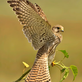 INDIAN KESTREL by Subramanniyan Mani - Animals Birds