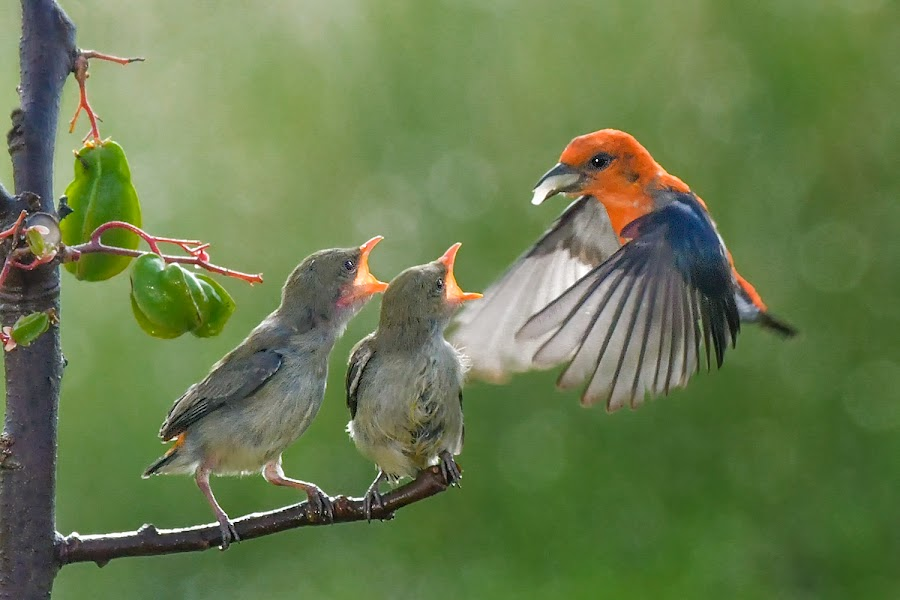 Feeding Time by Indrawaty Arifin - Animals Birds ( starfruit, backlit, feeding, morning, birds )