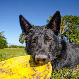 Pig Nose by Meaghan Browning - Animals - Dogs Playing ( park, grass, dirty, german shepherd, frisbee )
