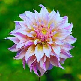 morning dahlia #2 by Jim Downey - Flowers Single Flower ( magenta, white, yellow, purple, flower )
