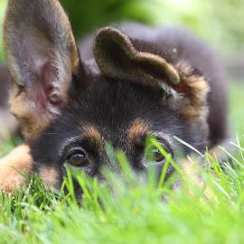 Playfull German Shepherd puppy by Marc Wahrer - Animals - Dogs Puppies ( grass, puppy, german shepherd, dog, portrait )