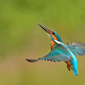 Alcedo atthis, Kingfisher  by Keith Bannister - Animals Birds ( alcedo atthis, nature, kingfisher, wildlife, birds )