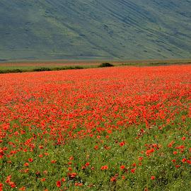 Castelluccio 4 by Bruno Brunetti - Landscapes Prairies, Meadows & Fields ( colors, flowers, italy, castelluccio, fields,  )