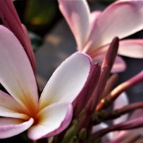 Fengpani by Mahesh Gadekar - Novices Only Flowers & Plants ( gulchaafa, champa,  )