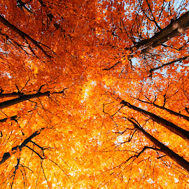 Up by Nicola Nola - Nature Up Close Trees & Bushes ( autumn leaves, trees, october, autumn colors, leaves )