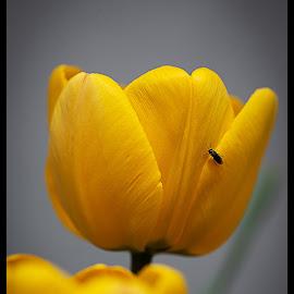 by Tony Mortyr - Uncategorized All Uncategorized ( tulip )