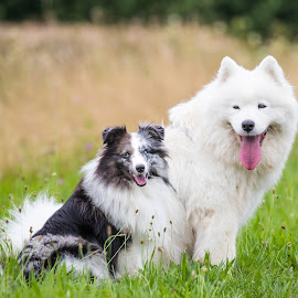 by Peter Grutter - Animals - Dogs Portraits ( dogs, shetland sheepdog, samoyed, sheltie, walk )