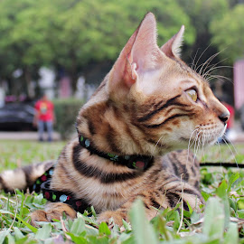by Haslan Bendahara Abdul Hamid - Animals - Cats Kittens ( bendahara cattery, kitten, mr love, malaysia, bengal )
