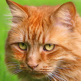 Watching by Chrissie Barrow - Animals - Cats Portraits ( orange, cat, ginger, long haired, pet, male, whiskers, fur, ears, nose, coat, portrait, eyes )