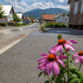 Echinacea purpurea by Stanislav Horacek - City,  Street & Park  Vistas
