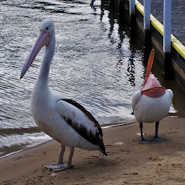 Pelicans by Sarah Harding - Novices Only Wildlife ( nature, outdoors, novices only, wildlife, birds )